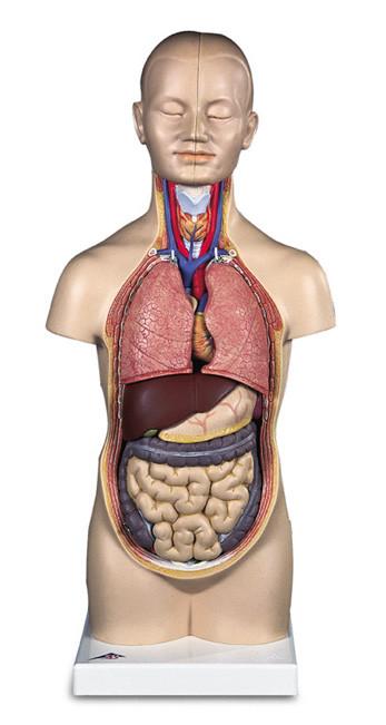 Human Anatomy Torso 12 Parts