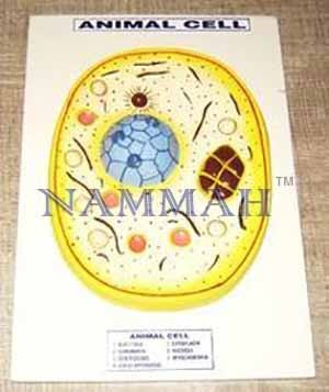 Animal Cell Zoology Model