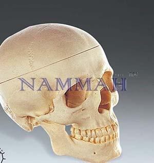 Human Skull Artificial 3 parts