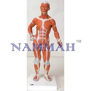 Human Muscular Figure Life Size 36 Parts
