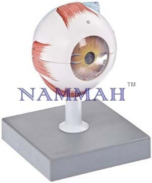 Human Eye Enlarged 5 Times Anatomy Model