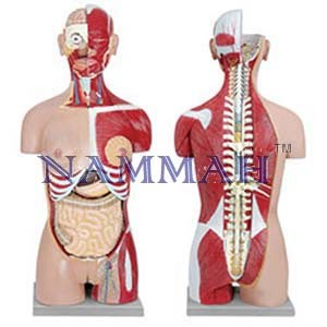 Human Torso with Interchangeable Sex Organs and open back