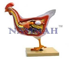 Hen (Bird) Dissection