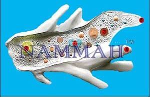 Amoeba Model - Zoology Anatomy Model