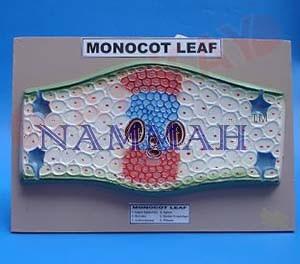 MONOCOT LEAF V.S.
