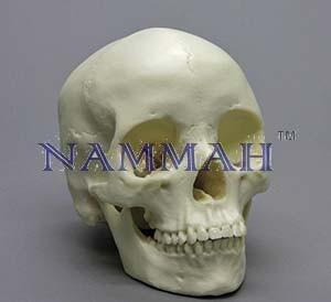 Human Skull Artificial Economy