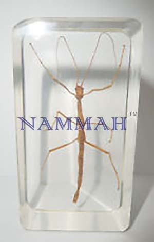 Real Life Science Specimens, Stick Insect